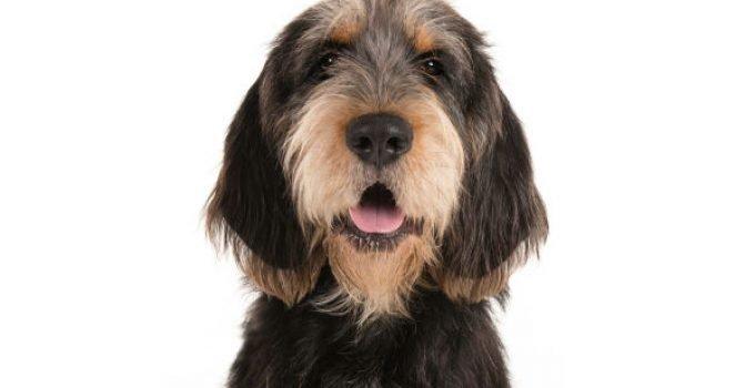 Best Dog Shampoos For Otterhounds