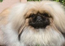 5 Best Dog Shampoos for Pekingese (Reviews Updated 2021)