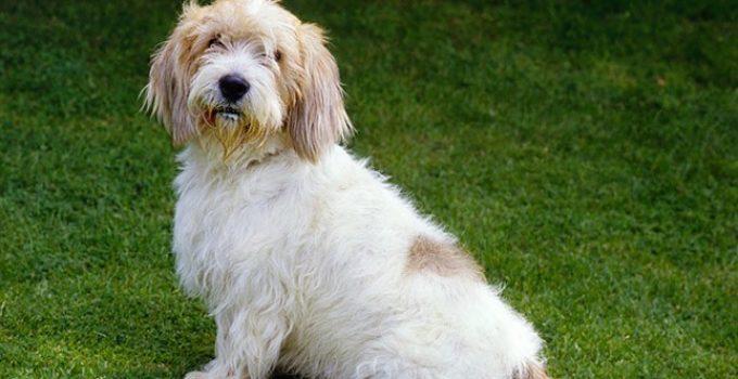 Best Dog Shampoos For Petit Basset Griffon Vendeens
