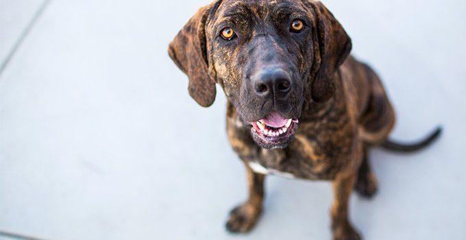 Best Dog Shampoos For Plott Hounds