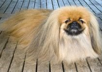 5 Best Dog Toys for Pekingese (Reviews Updated 2021)