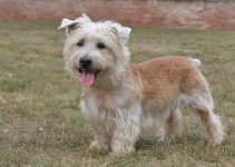 Best Puppy Foods For Glen Of Imaal Terriers