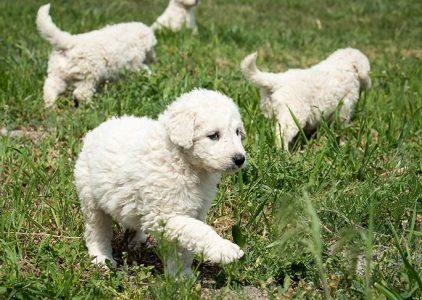 Best Puppy Foods For Kuvasz