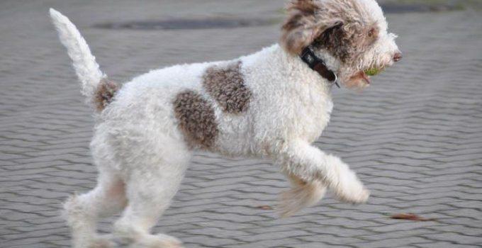 Best Puppy Foods For Lagotti Romagnoli