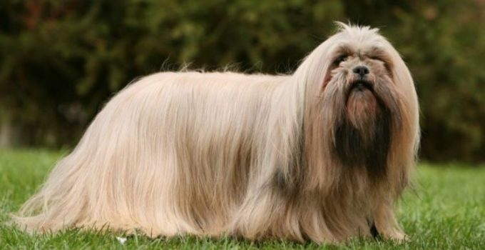 Best Puppy Foods For Lhasa Apsos