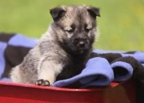 5 Best Puppy Foods for Norwegian Elkhounds (Reviews Updated 2021)