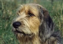 Best Puppy Foods For Otterhounds