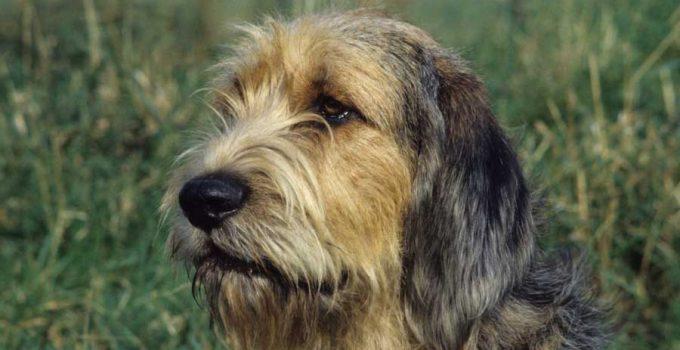 Best Puppy Foods For Otterhounds