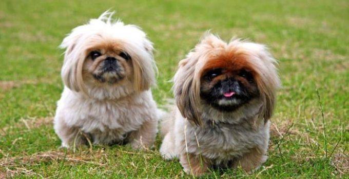 Best Puppy Foods For Pekingese
