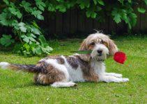 Best Puppy Foods For Petit Basset Griffon Vendeens