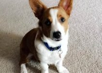 Best Dog Products For Aussie Corgis