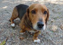Best Dog Products For Basschshund