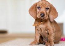 5 Best Dog Products For Basset Fauve De Bretagne (Reviews Updated 2021)