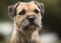 Best Dog Products For Affen Border Terriers