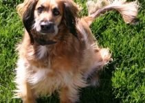 Best Dog Products For Afghan Spaniels
