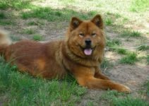10 Best Dog Products for Akita Chows (Reviews Updated 2021)