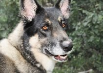 10 Best Dog Products for Akita Shepherds (Reviews Updated 2021)