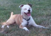 Best Dog Products For American Bullhuahuas