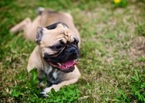 10 Best Dog Products for American Bullnese (Reviews Updated 2021)
