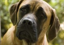 Best Dog Products For Amstiffs