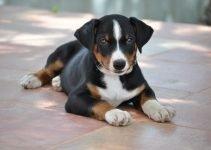 10 Best Dog Products for Appenzeller Sennenhund (Reviews Updated 2021)