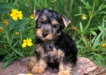 10 Best Dog Products for Aussie Silk Terriers (Reviews Updated 2021)