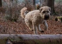10 Best Dog Products for Aussie Wheatens (Reviews Updated 2021)