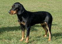 10 Best Dog Products for Austrian Black And Tan Hounds (Reviews Updated 2021)