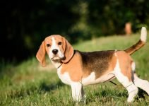 Best Dog Products For Basset Foxhounds