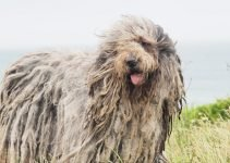 5 Best Dog Products for Bergamasco Shepherds (Reviews Updated 2021)
