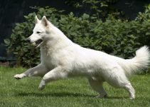 5 Best Dog Products for Berger Blanc Suisse (Reviews Updated 2021)
