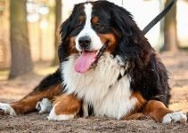 5 Best Dog Products for Bernese Cattle Dogs (Reviews Updated 2021)