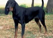 5 Best Dog Products for Black and Tan Virginia Foxhounds (Reviews Updated 2021)
