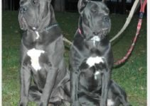 5 Best Dog Products for Blue Blood Cane Corsos (Reviews Updated 2021)