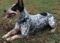 Best Dog Products For Bluetick Rat Terriers