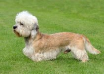 Best Dog Products For Dandie Dinmont Terriers