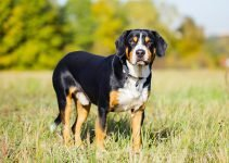 10 Best Dog Products for Entlebucher Mountain Dogs (Reviews Updated 2021)