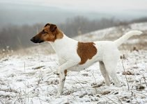 Best Dog Products For Smooth Fox Terriers