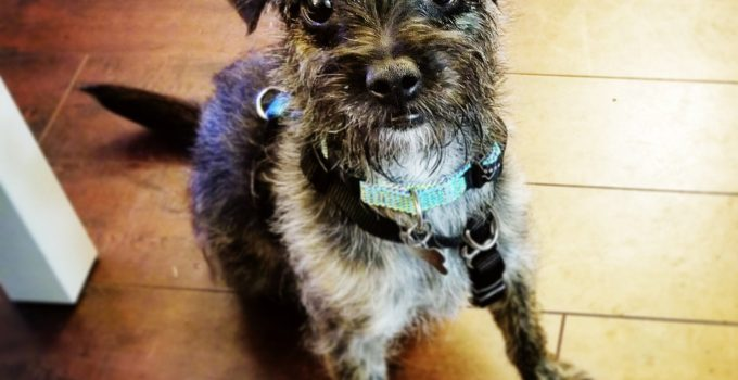 Affen Border Terrier Dog Breed Information All You Need To Know