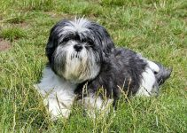 Affen Tzu Dog Breed Information All You Need To Know