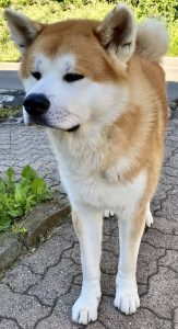 Akita Inu Dog Breed Information All You Need To Know
