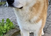 Akita Inu Dog Breed Information – All You Need To Know