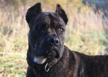 Alano Español Dog Breed Information – All You Need To Know