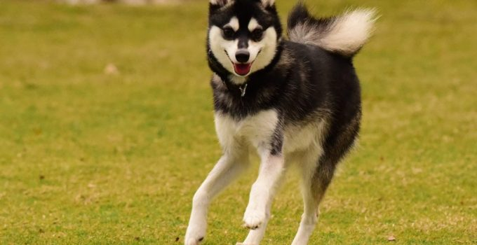Alaskan Klee Kai Dog Breed Information All You Need To Know