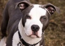 American Bull Staffy Dog Breed Information – All You Need to Know