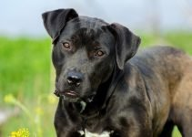 American Bullador Dog Breed Information All You Need To Know