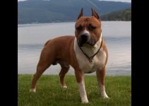 American Bully Staffy Bull Terrier Dog Breed Information All You Need To Know