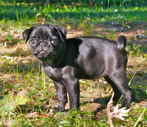 American Lo Sze Pug Dog Breed Information All You Need To Know