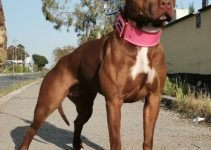 American Pit Bull Terrier Dog Breed Information All You Need To Know