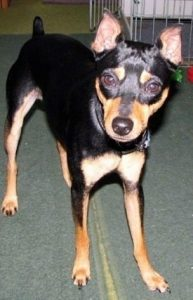 American Rat Pinscher Dog Breed Information All You Need To Know